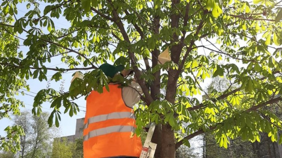 В Обнинске начали развешивать ловушки против насекомых-вредителей