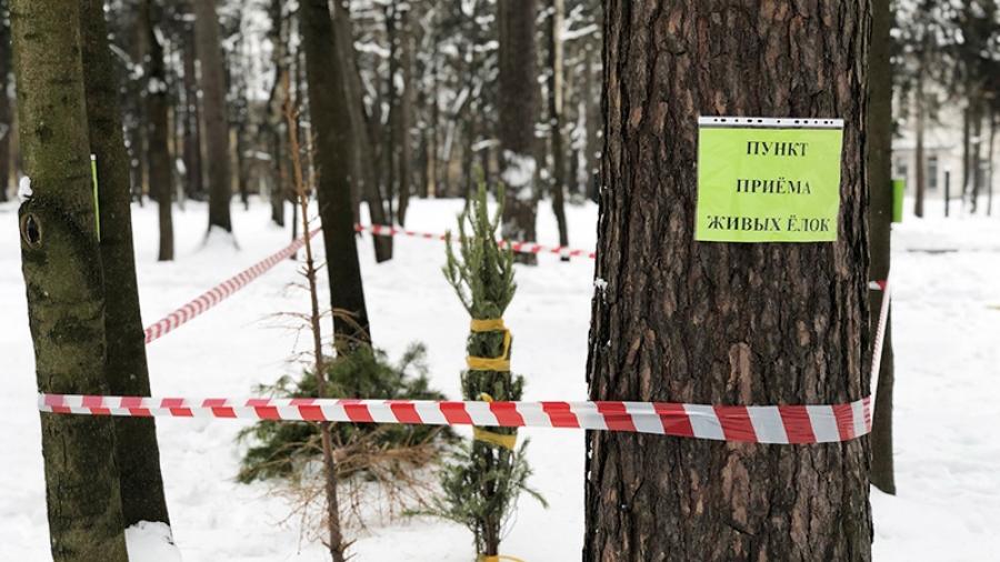 Обнинцы неохотно сдают новогодние елки на утилизацию