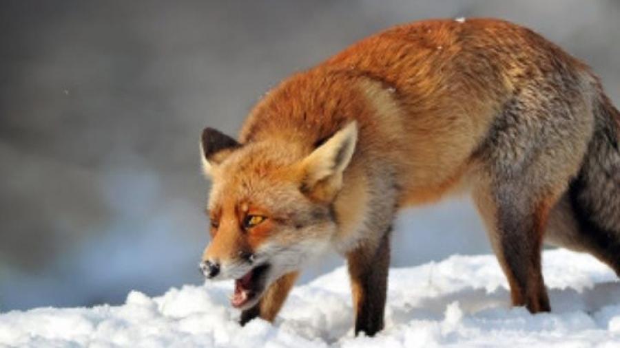 В Калужской области убили бешеную лису