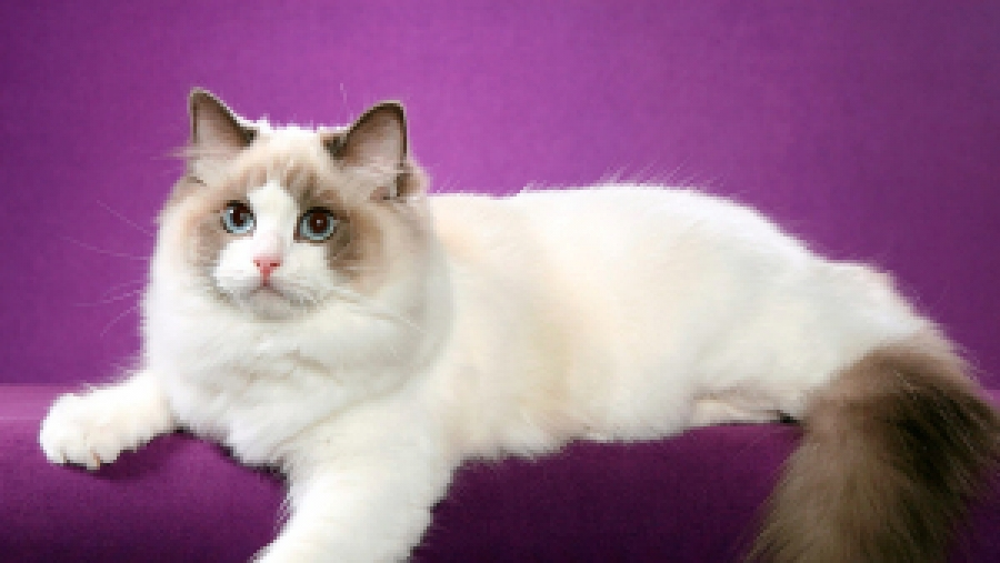 Обнинцев приглашают на выставку кошек