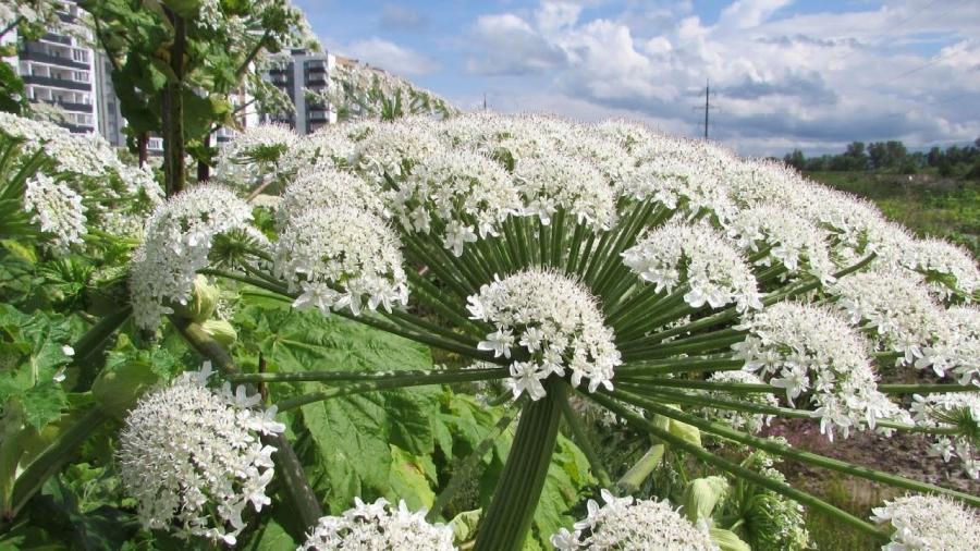 В Калужской области борщевик «возьмут» под законодательный контроль