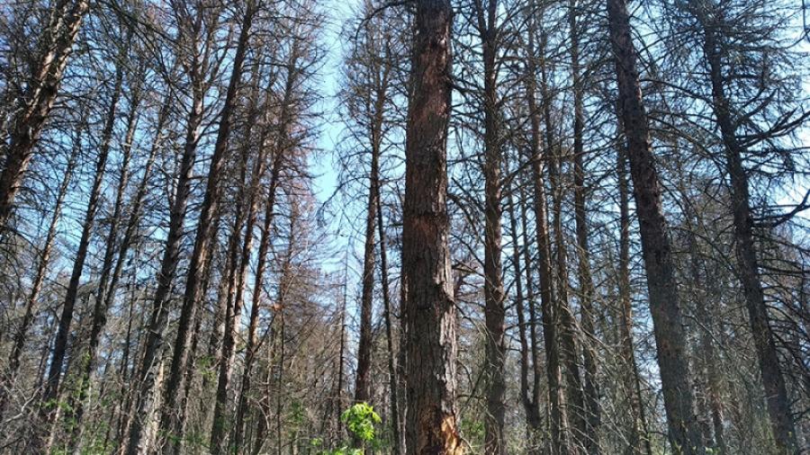 Около 320 га сосновых лесов в Калужской области поражены вершинным короедом