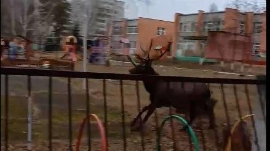 На территорию детского сада в Кременках Жуковского района проник олень