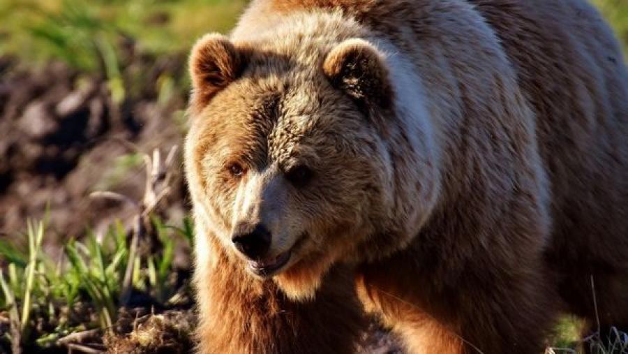 На юге Калужской области видеорегистратор снял медведя, выбежавшего на дорогу