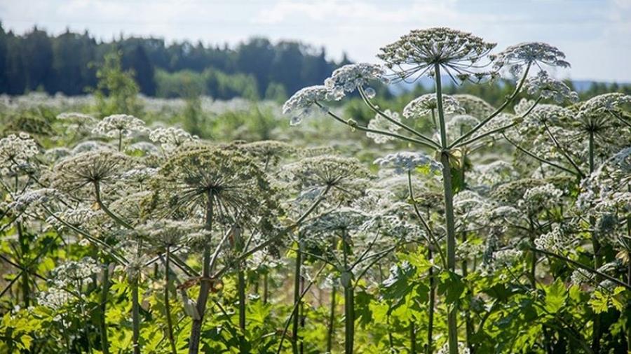 11 тысяч гектаров в Калужской области заросли борщевиком