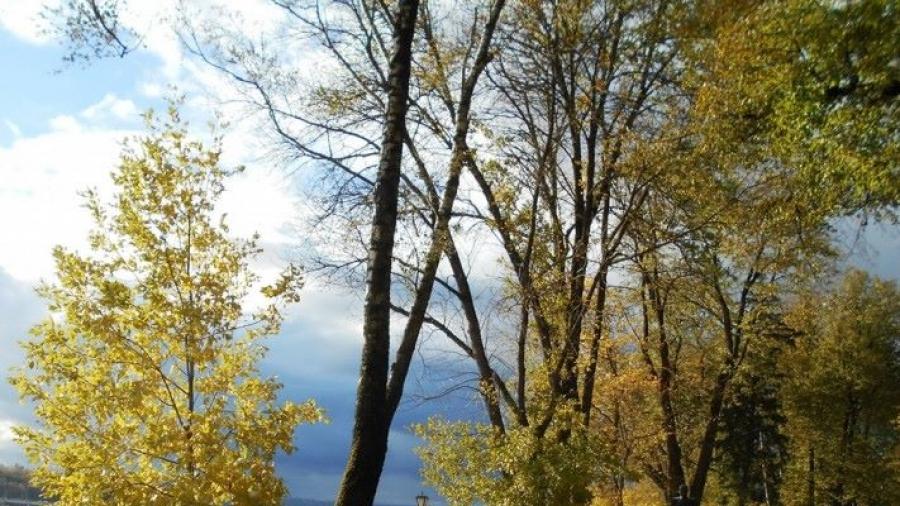 В Калуге вырубят пораженные изумрудной златкой ясени