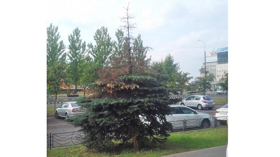 Почему сохнут ели на центральных улицах Обнинска?