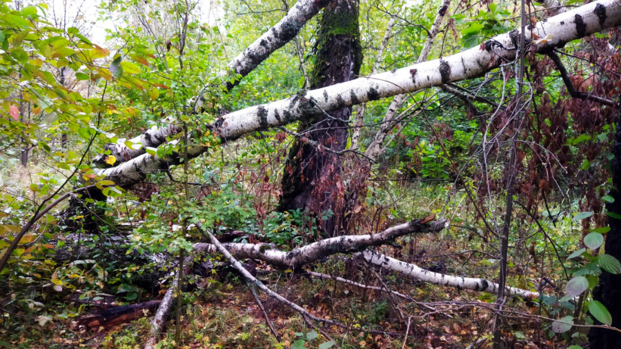 Во время вчерашней непогоды в Обнинске упало семь деревьев