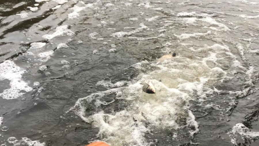 В озеро Ломпадь выпустили больше 60 тысяч рыб