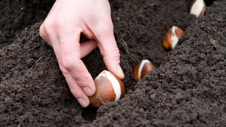 В Обнинске высаживают тюльпаны