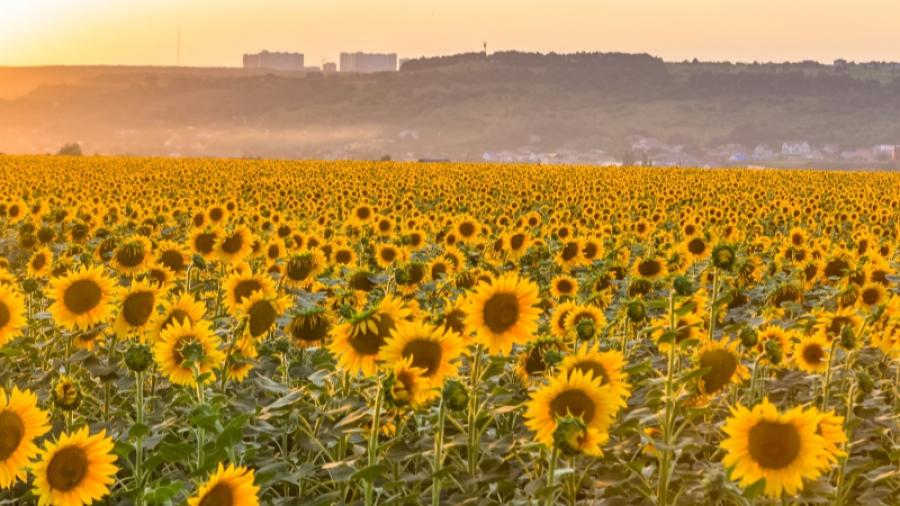 В Калужской области начали выращивать пшеницу и подсолнухи