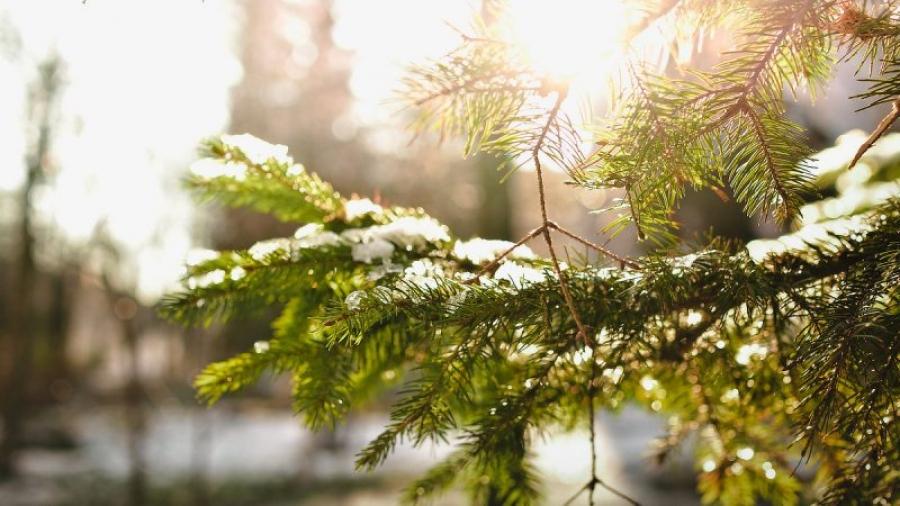 В Калужской области 17 тонн шишек станут лесами